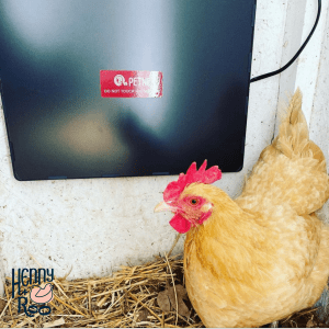 Heat lamps can cause fire in chicken coops. Panel heaters are safer.