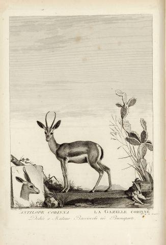 Gazelle corinne