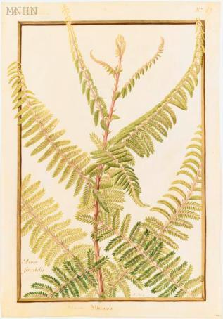 Mimosa, Nicolas Robert, 17e s.
