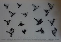 """""""L'appareil photo révèle les attitudes de vol des canards sauvages"""". Photographie George Shiras, publiée dans """"Hunting wild life with camera and flashlight""""."""