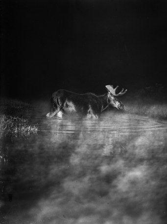 Elan dans la brume, Minnesota, 1909. Photographie George Shiras.