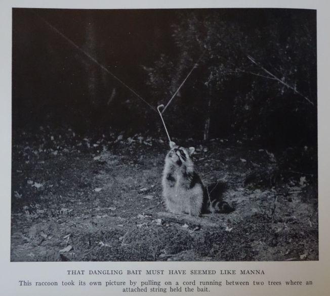 raccoon george shiras raton laveur