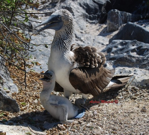 Blue Footed Boobies with 2 babies