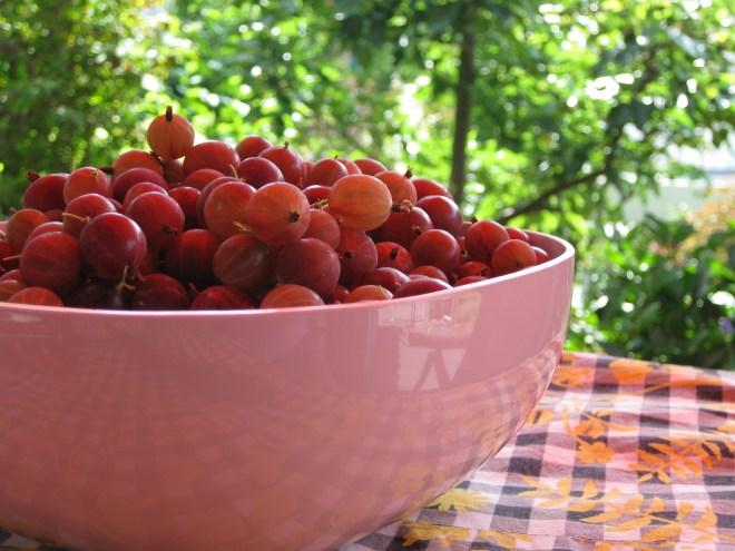 gepflückte Stachelbeeren