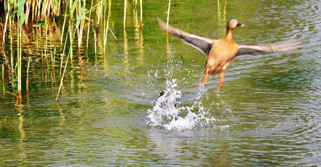 Wasserhuhn vertreibt Ente