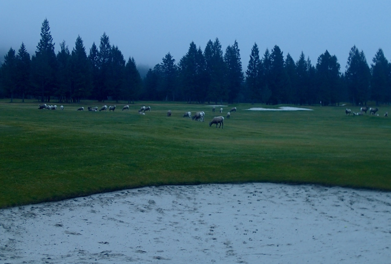Big horn sheep op de golf velden bij  Radium Hotsprings