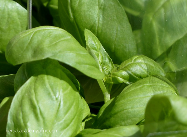 5 Easy Herbs to Grow - Basil