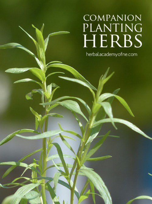 companion planting herbs  herbal academy, Beautiful flower