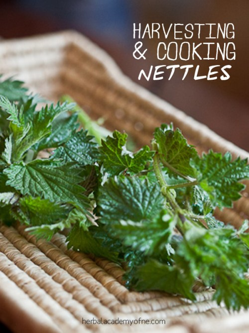 harvesting and cooking nettles herbal academy