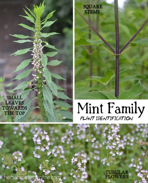Medicinal Mint Family- Identifying Mint