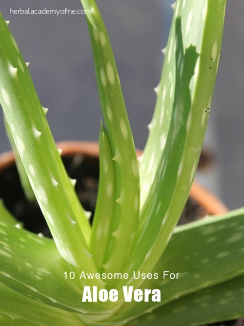 10 Awesome Uses For Aloe Vera - from the Herbal Academy blog