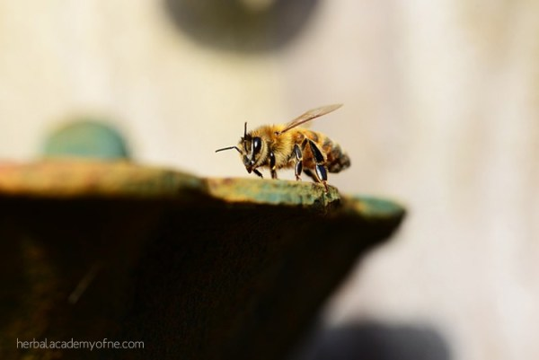 Five Fun and Fascinating Facts about Honey Bees - Herbal Academy