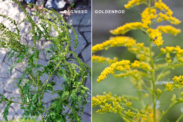 Goldenrod vs. Ragweed: They're NOT the Same Plant! - Herbal Academy