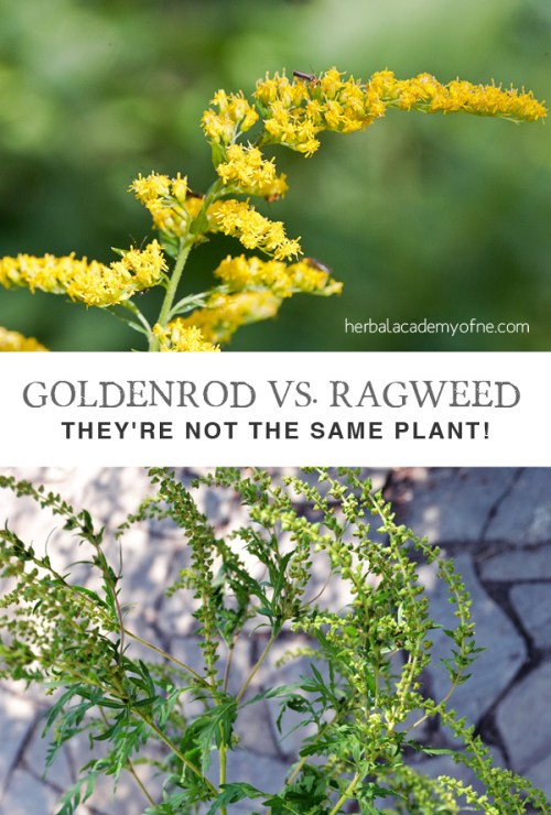 Goldenrod vs. Ragweed Identification - They're Not the Same Plant