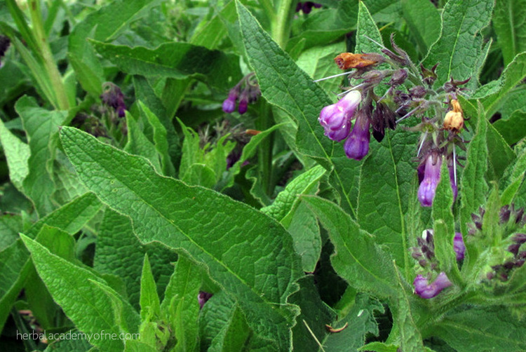 5 Herbs that Attract Beneficial Insects to the Garden