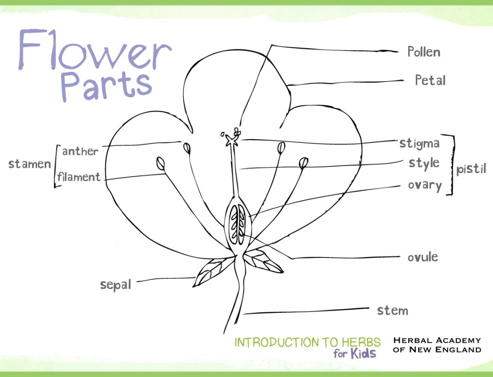 Flower Parts - Herbs for Kids