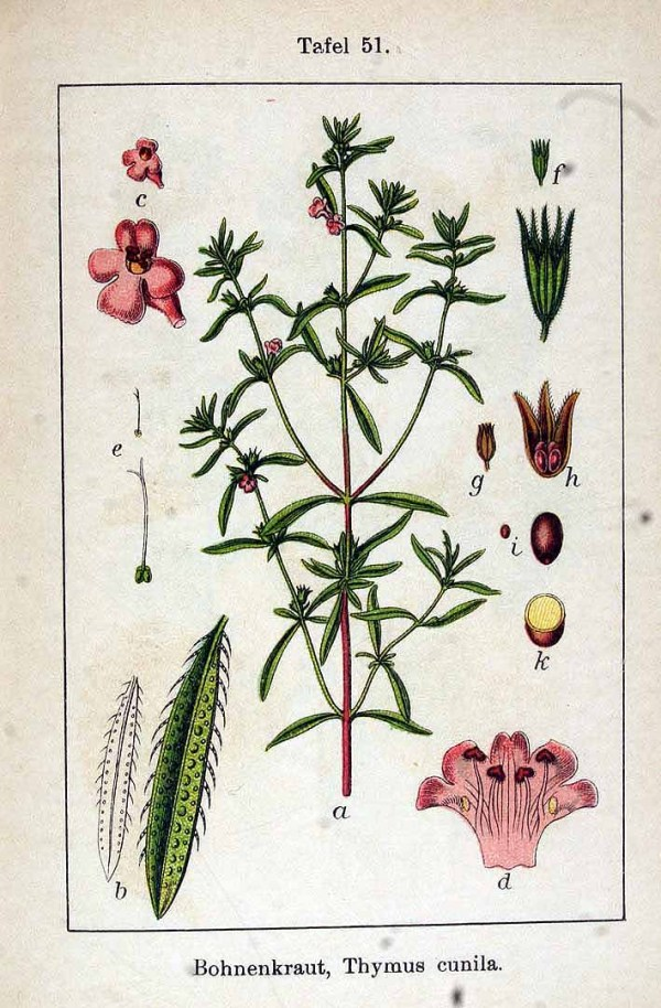 Savory Monograph from The Herbarium, herbalist membership program