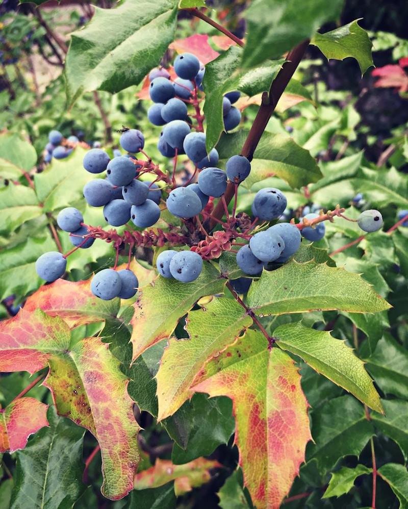 10 Tips for Wildcrafting Medicinal Herbs by GFC oregon-grape-berries