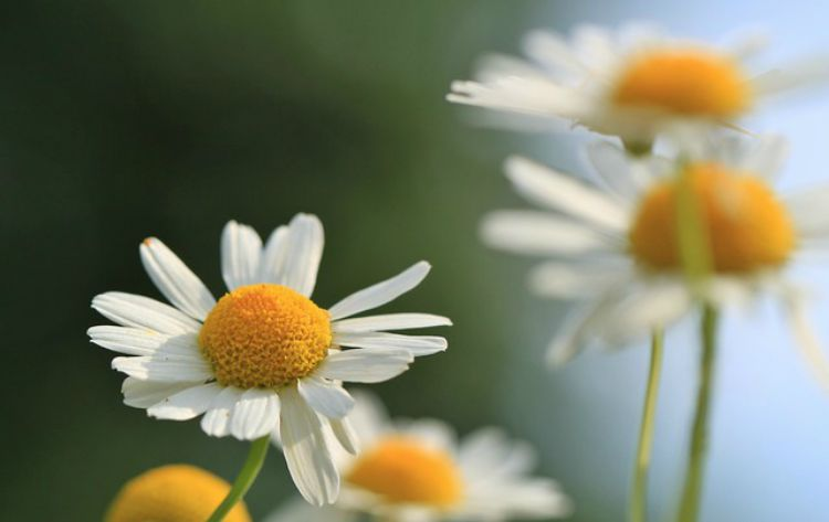 A Family Herb: Chamomile Flower Benefits: Body Care
