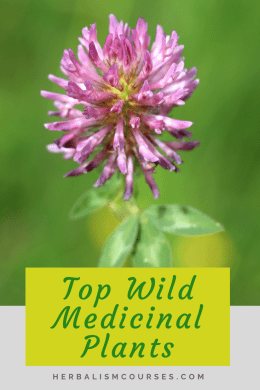 These top wild medicinal plants are some of the most common used in herbalism. They are easy to find and have many herbal medicine uses. #WildMedicinalPlants #MedicinalFlowers #RedClover #RedCloverBenefits #Herbalism #HerbalMedicine #HerbalismCourses #OnlineHerbalCourse