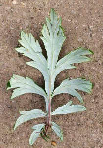Mugwort leaf underside