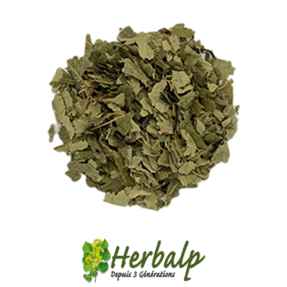infusion-bouleau-feuilles-herbalp