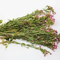 Золототысячник выращивание и уход в открытом грунте
