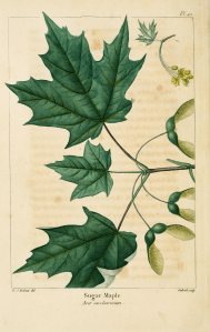 English: Plate 42 from The North American Sylva: Acer saccharum. 1819. Sugar maple.