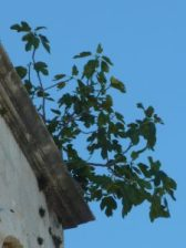 Close-up of fig growing at top of bell tower in Croatia.