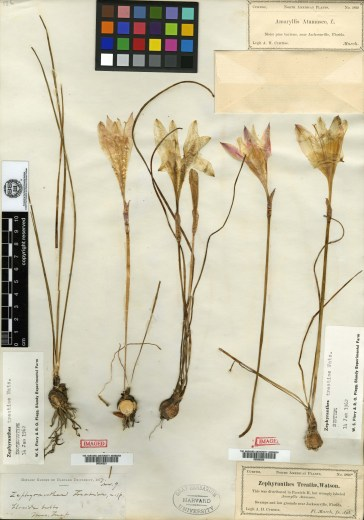 Zephyranthes treatiae, Collected by Mary Treat in 1877. Treat collected the species in the St. Johns River in Florida. Harvard professor Sereno Watson named the plant for her in 1878.