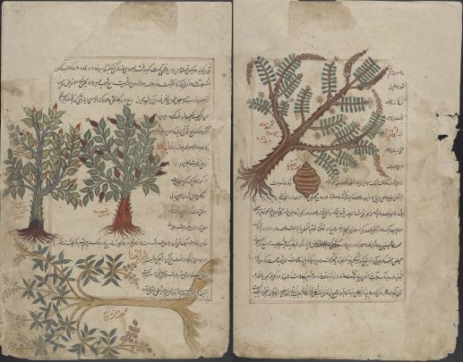 "Kitāb-i ḥashā'ish (16th Century). Persian translation of ""De materia medica,"" by Dioscorides of Anazarbos. This illustrated herbal provides detailed descriptions of the structure and medicinal properties of plants, trees, and minerals."