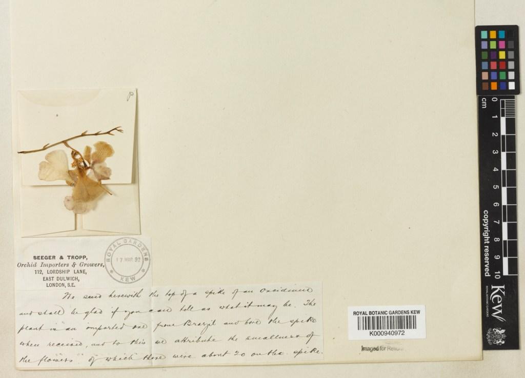Herbarium Specimen of Oncidium Orchid from Kew Royal Botanic Gardens