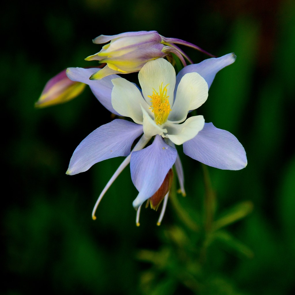 Colorado Columbine, taken in Mt. Crested Butte. Image by Larry Lamsa (CC by 2.0)