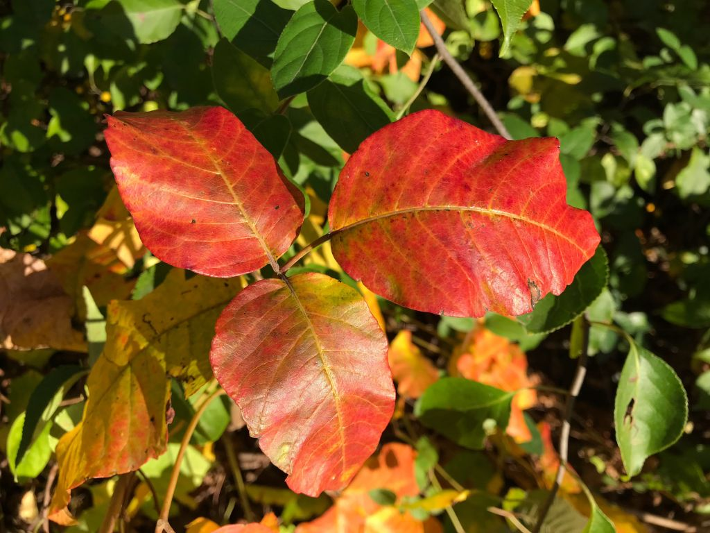 Red poison ivy leaves in the fall.