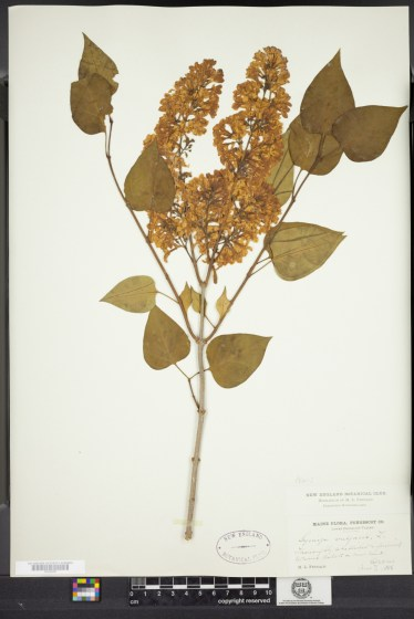 Lilac. Syringa vulgaris, L. Collected by M.L. Fernald in 1888. Harvard University Herbarium.