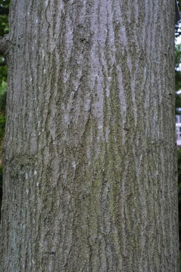 quercus_palustris_bark2