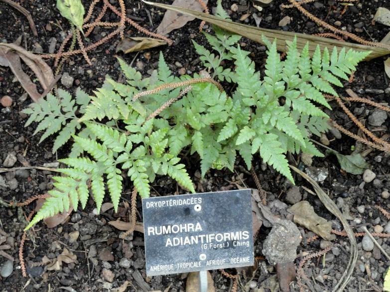 rumohra_adiantiformis_-_jardin_botanique_de_lyon_-_dsc05367
