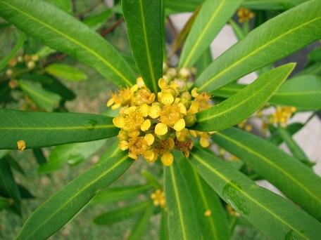 tristaniopsis_laurina-flowers