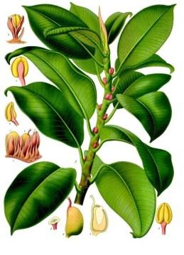 ficus_elastica_-_ko%cc%88hler-s_medizinal-pflanzen-206