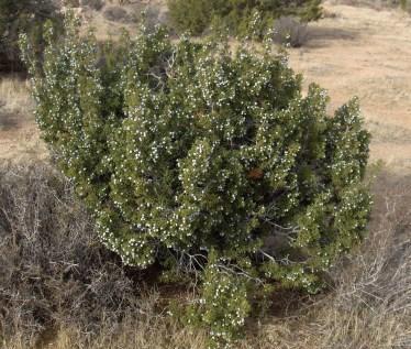 juniperus_californica_joshua_tree_np2