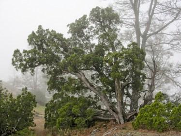 juniperus_californica_mount_diablo