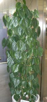 philodendron_scandens_subsp_oxycardium1