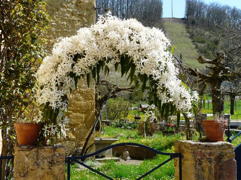 clematis_armandii_badefols-sur-dordogne