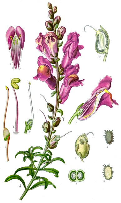 illustration_antirrhinum_majus_clean