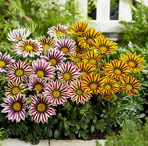 На ромашку эти цветы похожи, но спутать их с ней точно не получится.