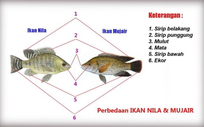 Sulit dibedakan? Inilah Perbedaan Ikan Nila dan Mujair