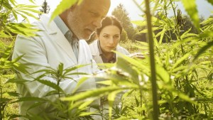 researchers-checking-hemp-plants-in-the-field