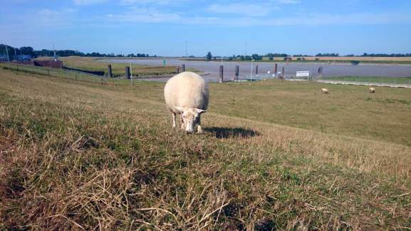 Ein Schaf darf nicht fehlen.
