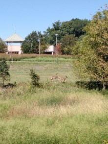 Whitetail deer on the HRG