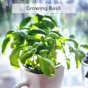Herb Gardening 101: Tips for Growing Basil